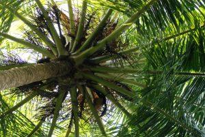 Cocotier<br> Parc Manuel Antonio<br> Costa-Rica