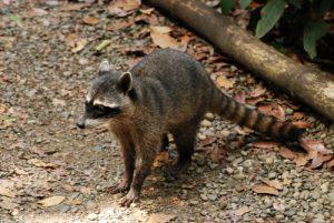 Ratons laveurs (Procyon cancrivorus)<br> Parc Manuel-Antonio<br> Costa-Rica