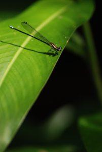 Libellule<br> Parc Manuel-Antonio<br> Costa-Rica
