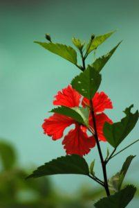 Fleur d'Ibiscus<br> Parc Manuel-Antonio<br> Costa-Rica