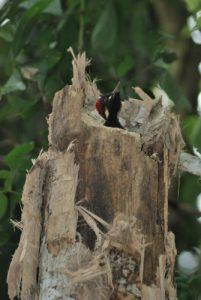 Le Pic de Pucheran (Melanerpes pucherani)<br> Parc Manuel-Antonio<br> Costa-Rica