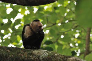 Singe capucin (Cebus capucinus)<br> Parc Manuel Antonio<br> Costa-Rica