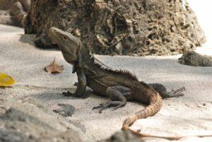 Iguane sur la plage<br> Parc Manuel Antonio<br> Costa-Rica