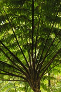 Fougère arborescente (Cyathea arborea)<br> Île de la Dominique (Dominica)
