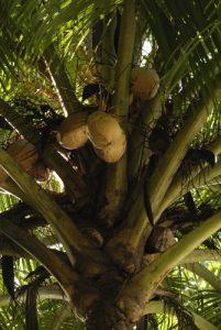 Cocotier (Cocos nucifera)<br> Île de la Dominique (Dominica)