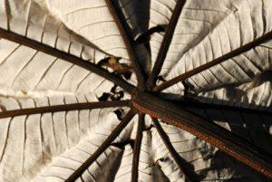 Feuille de Bois canon (Cecropia schreberiana)<br> Île de la Dominique (Dominica)
