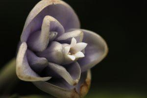 Fleur bleue de cire (Psychotria urbaniana)<br> Fresh Water Lake<br> Île de la Dominique (Dominica)