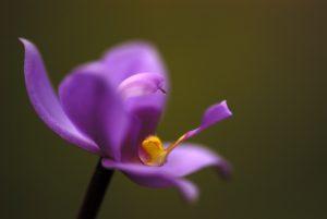 Orchidée (Spathoglottis plicata)<br> Boeri Lake<br> Île de la Dominique (Dominica)