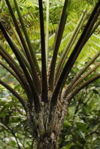 Fougère arborescente (Cyathea arborea)<br> Boeri Lake<br> Île de la Dominique (Dominica)
