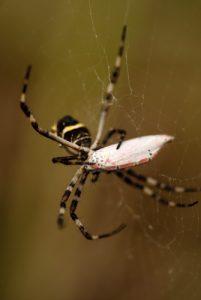 Araignée avec comme proie un papillon (Utetheisa ornatrix)<br> Village de Scotts Head<br> Île de la Dominique (Dominica)