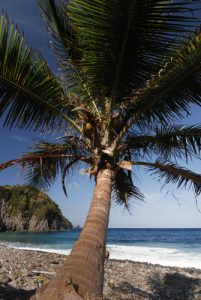 Cocotiers<br> Plage de Pointe Mulatre Bay<br> Île de la Dominique (Dominica)