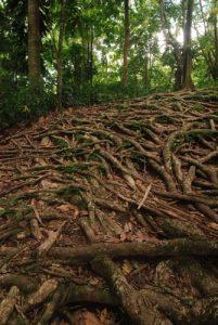 Arbres &amp; racines de la Forêt primitive<br> Chemin de la cascade Middleham Falls<br> Île de la Dominique (Dominica)