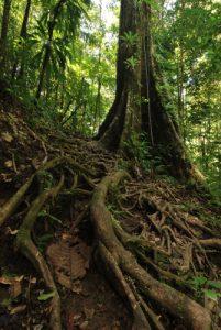 Forêt primitive<br> Chemin de la Cascade Middleham Falls<br> Île de la Dominique (Dominica)