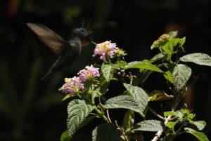 Colibri madère (?)<br> Village de Laudat<br> Île de la Dominique (Dominica)