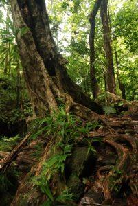Forêt primitive<br> Cascades The Penrice (Spanny) Falls<br> Île de la Dominique (Dominica)