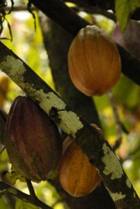 Cacao (Theobroma cacao)<br> Île de la Dominique (Dominica)