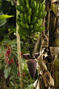 Bananier (Musa acuminata ?)<br> Île de la Dominique (Dominica)