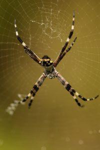 Araignée<br> Plage de Méro<br> Île de la Dominique (Dominica)