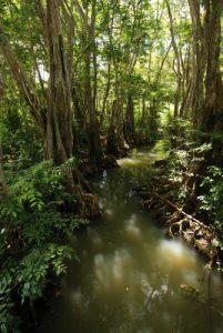 Arbre de la mangrove Sang-Dragon/Mangle-Médaille (Pterocarpus officinalis)<br> Plage de Calibishie<br> Île de la Dominique (Dominica)