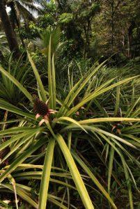 Ananas (Ananas Comosus)<br> Chemin qui mène à Chaudière pool<br> Île de la Dominique (Dominica)