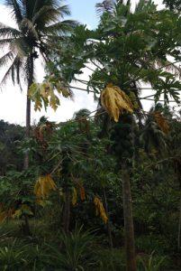 Papaye (Carica papaya)<br> Chemin qui mène à Chaudière pool<br> Île de la Dominique (Dominica)