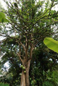 Calebassier (Crescentia cujete)<br> Carib Territory<br> Île de la Dominique (Dominica)