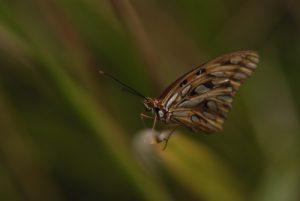 Papillon Nacré (Agraulis vanillae)<br> Carib Territory<br> Île de la Dominique (Dominica)