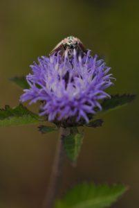 Papillon endémique des Petites Antilles (Utetheisa ornatrix)<br> Carib Territory<br> Île de la Dominique (Dominica)