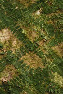Fougère ornementale<br> Forêt du Syndicate Nature Trail<br> Île de la Dominique (Dominica)