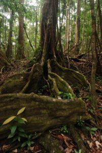 Forêt du Syndicate Nature Trail<br> Île de la Dominique (Dominica)