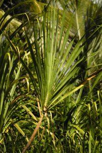 Jeune pousse de canne à sucre sauvage<br> Mangrove de l'Indian River<br> Île de la Dominique (Dominica)
