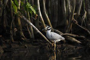 Crabier Bihoreau violacé (Nyctanassa violacea)<br> Mangrove de l'Indian River<br> Île de la Dominique (Dominica)