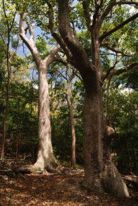 Fromager (Ceiba pentandra)<br> Cabrits National Park<br> Île de la Dominique (Dominica)