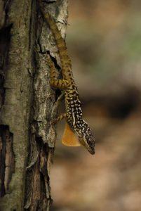 Anoli (Anolis oculatus)l<br> Cabrits National Park<br> Île de la Dominique (Dominica)