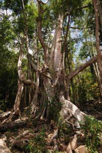 Arbre Figuier maudit (Ficus citrifolia)<br> Cabrits National Park<br> Île de la Dominique (Dominica)