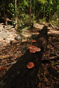 Champignon<br> Cabrits National Park<br> Île de la Dominique (Dominica)