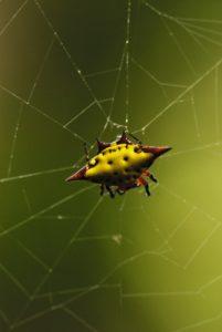 Araignée en forme de cerf-volant<br> Chaudière pool<br> Île de la Dominique (Dominica)