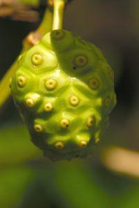 Le Noni (Morinda citrifolia) aux vertues anticancéreuses<br> Mangrove de Petit Baptiste Bay<br> Île de la Dominique (Dominica)
