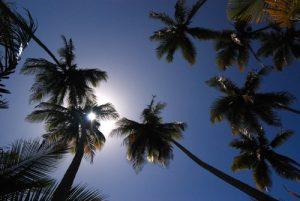 Cocotier (Cocos nucifera)<br> Mangrove de Petit Baptiste Bay<br> Île de la Dominique (Dominica)