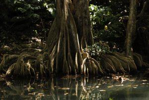 Arbre de la mangrove Sang-Dragon/Mangle-Médaille (Pterocarpus officinalis)<br> Mangrove de Petit Baptiste Bay<br> Mangrove de Petit Baptiste Bay