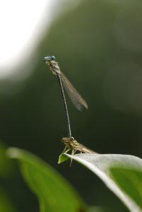 Tadem de Pennipattes bleuâtres ou Agrions à larges pattes (Platycnemis pennipes)<br> Espace Naturel Sensible du Marais de Cercanceaux