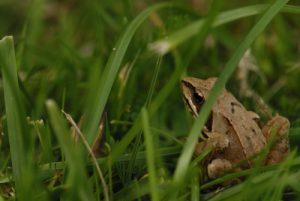 Crapaud<br> Espace Naturel Sensible du Marais de Cercanceaux