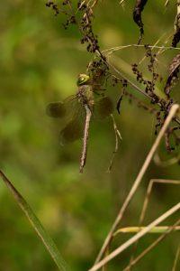 Anax napolitain (Anax parthenope)<br> Espace Naturel Sensible du Marais de Cercanceaux