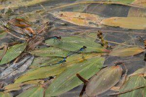 Tandem de Naïade aux yeux rouges (Erythromma najas)<br> Espace Naturel Sensible du Marais de Cercanceaux