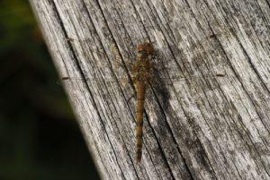 Sympétrum strié femelle (Sympetrum striolatum)<br> [Critères : bandes jaunes sur le thorax, pattes noires rayées de jaune]<br> Espace Naturel Sensible du Marais d'Épisy