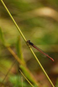 Agrion délicat (Ceriagrion tenellum)<br> Espace Naturel Sensible du Marais d'Épisy
