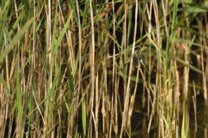 Anax napolitain femelle (Anax parthenope)<br> Espace Naturel Sensible du Marais d'Épisy