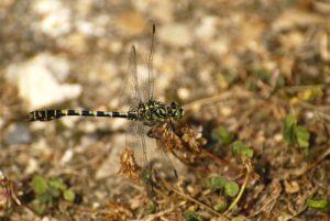 Onychogomphe à pinces mâle (Onychogomphus forcipatus)<br> [Critères : tâche jaune sur le vertex]<br> Espace Naturel Sensible du Marais d'Épisy