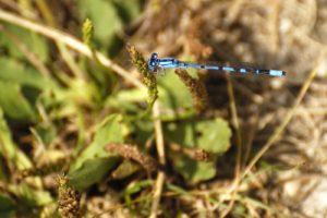 Agrion porte-coupe (Enallagma cyathigerum)<br> [Critères :S2 en forme de champignon]<br> Espace Naturel Sensible du Marais d'Épisy