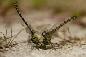 Mâle Onychogomphe à pinces (Onychogomphus forcipatus) forçant une femelle<br> Espace Naturel Sensible du Marais d'Épisy
